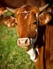 Коровы мясных пород живым весом на убой.