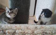 Шотландские котята Тамбов
