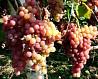 Черенки винограда с корнями
