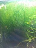 Продам аквариумные растения,мхи и анциструсов Макеевка