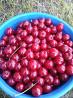 Продаются саженцы вишни