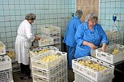 Инкубационные яйца бройлера маркерованные от птицефабрик Европы и Укр Кишинёв