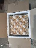Инкубационные яйца индюкп (маркированные, миражированные) Одесса