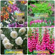 Продаю рассаду цветы, саженцы, многолетники, Санкт-Петербург