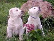 Продаются щенки Среднеазиатской овчарки Киев