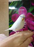 Волнистый попугайчик Москва