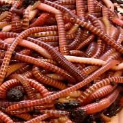 Продаю красного калифорнийского червя, рыбалка, удобрение Санкт-Петербург