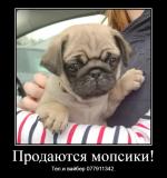 Продаются щенки королевского мопса 20.07.2021 года рождения, бежевого Бендеры
