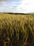Семена озимой пшеницы Мудрость, Нива, Житница, Лига, Октава, Палитра Днепропетровск
