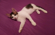 Бесплатно красивый, домашний котенок в добрые руки Саратов