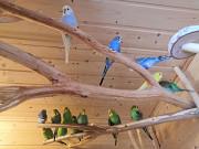 Попугай Брест