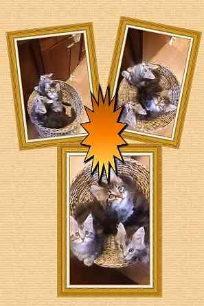 Котята Мейн-кун (прививки, документы в наличии) Минск