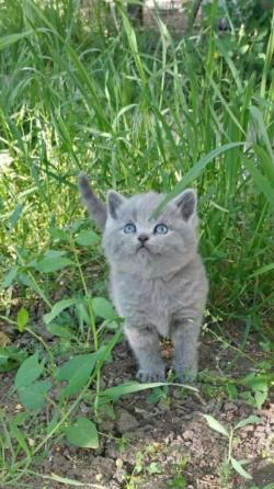 Шотландские котята Тирасполь