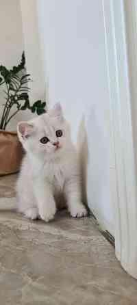 Продам шотландских котят, (серебряная шиншилла ) Жодино