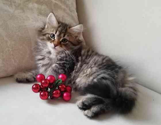 Сибирские котята Минск