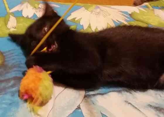 Котенок в ответственные ручки. Девочка 2 месяца. Минск