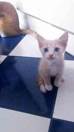 Котёнок Эклер 2 мес (Феодосия Судак и окрестности) Феодосия