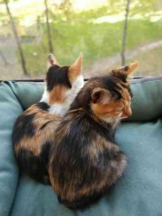 Трёхцветные котята Витебск