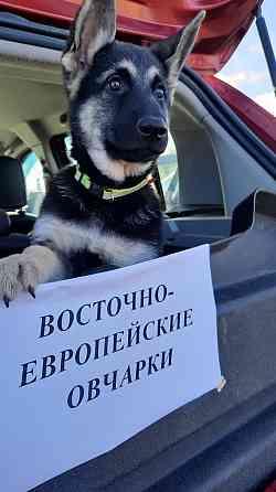 Восточно-европейская овчарка, щенки Минск