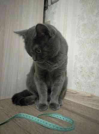 Кошка Мари, британка, возраст 3-4 г., стерилизована, привита. В ДАР Минск