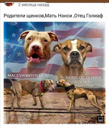 Американский питбультерьер Краснодар