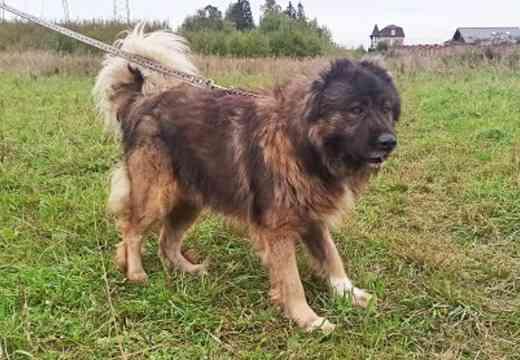 Кавказская овчарка Чингиз в добрые руки Солнечногорск