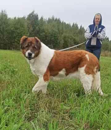 Чупа - семейная собака в добрые руки Солнечногорск