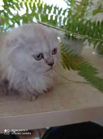 Продам шотландских котят Тирасполь