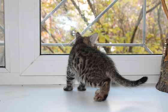 Бенгальские котята Санкт-Петербург