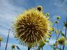 Альфредия - ценное лекарственное растение. Семена, доставка по России.