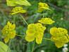 Володушка золотистая - ценное лекарственное растение. Семена почтой.