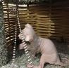котята украинского левкоя