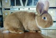 Кролик самец НЗК Волгоград