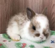 Карликовый кролик на бронирование Ставрополь