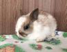 Карликовый кролик на бронирование