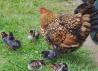 Цыплята и инкубационное яйцо:Виандот,Орловская
