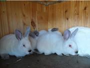 Кролики Калифорнийской породы Можайск