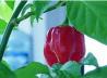 Семена перца Habanero Red Savina