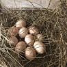 Продам деревенские яйца