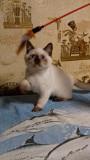 Элитные котята Одесса