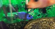 Разноцветные рыбки. Цихлиды Армавир