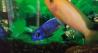 Разноцветные рыбки. Цихлиды