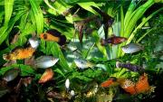Аквариумные рыбки Благовещенск