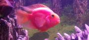 Рыба Попугай Омск