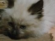 Продаю сибирских котят Калуга