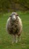 Баранчики,овцы,ягнята