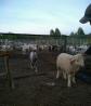 Бараны, овцы оптом