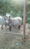 продадим двух овец