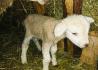 Суягные овцы, бараны породы тексель