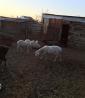Овцы на продажу